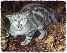 Colección de foto - gato rabioso