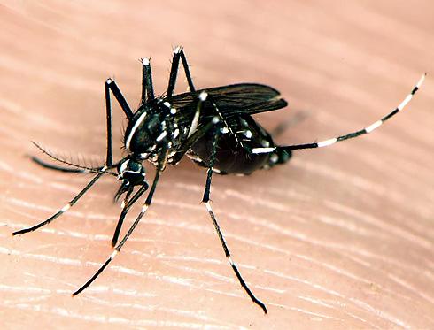 mosquito tigre asiático 01