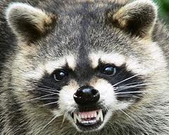 mapache rabioso