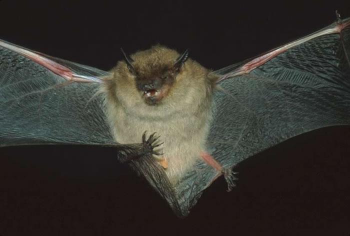 Pequeño murciélago marrón