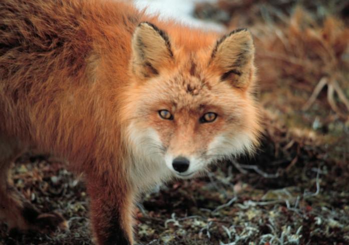 Zorro rojo. imagen cortesía de: Servicio de Pesca y Vida Silvestre de EE. UU.